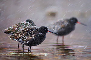 Spotted redshank (Tringa erythropus) at shallow water in snow, Ovre-Pasvik National Park, Norway - Orsolya Haarberg
