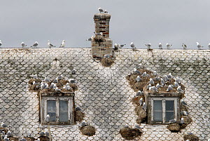 Kittiwakes (Rissa tridactyla) nesting on the roof of an abandoned house, Rost, Lofoten, Nordland, Norway, June  -  Orsolya Haarberg