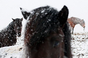 Icelandic horses out in the snow, Iceland, April 2010  -  Orsolya Haarberg