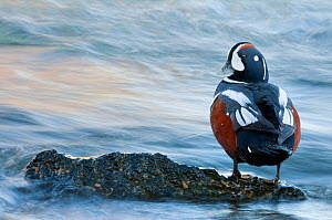 Harlequin duck (Histrionicus histrionicus) male beside the Laxa River, Myvatn, Iceland, June - Orsolya Haarberg