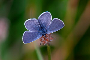 Small Blue butterfly (Cupido minimus) Martin Down, Hampshire, UK July  -  Colin Varndell