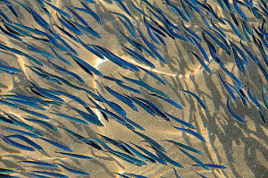 Close up view of shoaling young sardines (Sardina pilchardus) swimming in shallow water in a sandy bay, casting shadows on the seafloor, viewed from above water. Eastern Lesbos / Lesvos, Greece, Augus... - Nick Upton