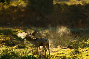 Fallow Deer (Cervus dama) male calling during rut, with misty breath at dawn, Leicestershire, UK - Paul Hobson