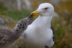 Great Black-backed gull (Larus marinus) chick begging adult for food, Saltee, Ireland, July  -  Paul Hobson