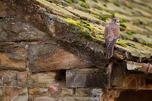 Female Kestrel (Falco tinnunculus) perched in roof of an old barn, UK, October  -  Paul Hobson