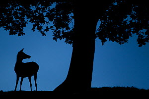 Red Deer (Cervus elaphus) doe, silhouetted at dusk, Bradgate Park, UK, November - Paul Hobson