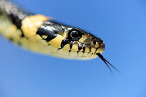 Grass snake (Natrix natrix) head portrait flicking tongue  -  Solvin Zankl