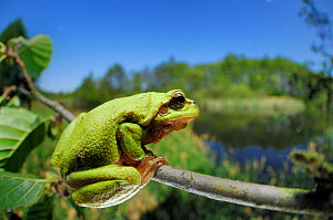 European tree frog (Hyla arborea) on tree branch, with lake behind, Germany - Solvin Zankl