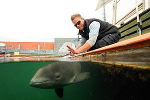 Split level view of Harbour porpoise (Phocoena Phocoena) working with trainer, Fjord and Baelt centre, Norway. Captive, May 2009  -  Solvin Zankl
