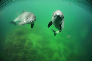 Two Harbour porpoises (Phocoena Phocoena) swimming, Fjord and Baelt centre, Norway. Captive, May 2009  -  Solvin Zankl