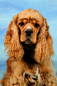 Cocker Spaniel head portrait, aged 5 years  -  Solvin Zankl