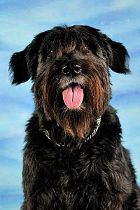 Portrait of a Bouvier des Flander cross-breed dog, sitting and panting  -  Solvin Zankl