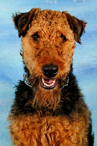 Airdale terrier head portrait, sitting and panting Not available for ringtone/wallpaper use.  -  Solvin Zankl