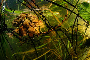 Pair of Common european toads (Bufo bufo) in amplexus with strings of toadspawn, in pond, Germany  -  Solvin Zankl