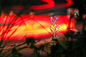 Military Orchid (Orchis militaris) flowering on side of road with light trails from cars, Germany - Solvin Zankl