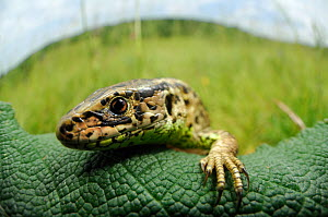Sand lizard (Lacerta agilis) head portrait, climbing on leaf, Germany - Solvin Zankl