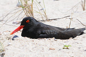 African Black Oystercatcher (Haematopus moquini) resting on beach. Koppie Alleen, deHoop NR, Western Cape, South Africa, October  -  Tony Phelps