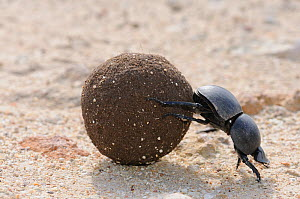 Green-grooved Dung Beetle (Scarabaeus rugosus) male with dung ball. deHoop NR, Western Cape, South Africa - Tony Phelps