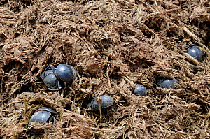 Addo flightless dung beetles (Circellium bacchus) in elephant dung, Addo Elephant NP, Eastern Cape, South Africa, November  -  Tony Phelps