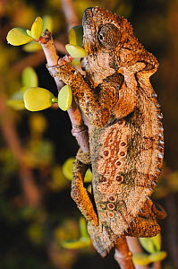 Eastern Cape Dwarf Chameleon (Bradypodion ventrale) Addo Elephant NP, Eastern Cape, South Africa  -  Tony Phelps