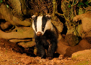 Young male Badger (Meles meles) head portrait standing by sett entrance, Mid Devon, England, May  -  Kevin J Keatley