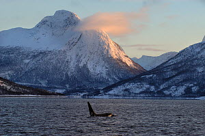 Killer whale / Orca (Orcinus orca) surfacing near coast, Tysfjord, Norway, November  -  Mark Carwardine