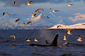 Gulls flying above two Killer whales / Orcas (Orcinus orca) surfacing, Tysfjord, Norway, November  -  Mark Carwardine