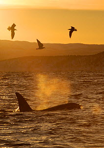 Killer whale / Orca (Orcinus orca) surfacing with three seabirds flying, Tysfjord, Norway, November  -  Mark Carwardine