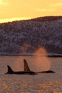 Two Killer whales / Orcas (Orcinus orca) surfacing, Tysfjord, Norway, November  -  Mark Carwardine
