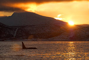 Killer whale / Orca (Orcinus orca) surfacing at sunrise, Tysfjord, Norway, November 2004  -  Mark Carwardine