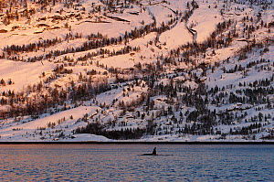Killer whale / Orca (Orcinus orca) surfacing, Tysfjord, Norway, November  -  Mark Carwardine