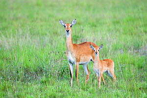 Uganda kob (Kobus kob thomasi) mother and calf, Queen Elizabeth National Park, Uganda, Africa, October  -  Mark Carwardine
