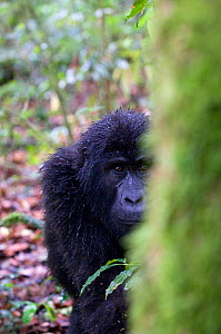 Mountain gorilla (Gorilla beringei beringei) Bwindi Impenetrable Forest, Uganda, Endangered / threatened species, October - Mark Carwardine