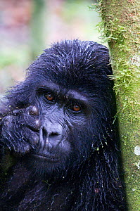 Mountain gorilla (Gorilla beringei beringei) leaning against tree trunk, Bwindi Impenetrable Forest, Uganda, Endangered / threatened species, October - Mark Carwardine