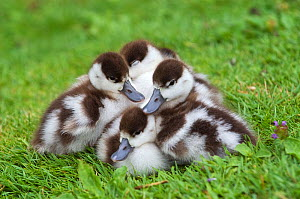 Common shelduck (Tadorna tadorna) ducklings huddled together, Slimbridge, Gloucestershire, UK, June  -  Mark Carwardine