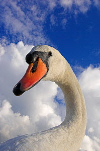 Mute swan (Cygnus olor) portrait, Slimbridge, Gloucestershire, UK, September - Mark Carwardine