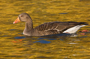 Greylag goose (Anser anser) on water with golden reflection, Slimbridge, Gloucestershire, UK, November - Mark Carwardine