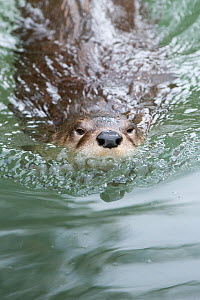 Northern / North American river otter (Lontra canadensis) swimming, Captive, Slimbridge, Gloucestershire, UK, July - Mark Carwardine