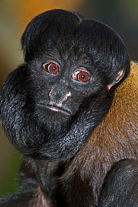 Male Red-backed Bearded saki monkey (Chiropotes chiropotes) captive, from Venezuela - Rod Williams