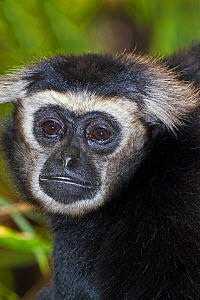 Male Pileated gibbon (Hylobatus pileatus) captive, from Thailand, Cambodia and Laos, Endangered  -  Rod Williams