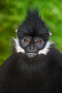 Francois' Langur (Trachypithecus francoisi) captive, from Vietnam, Laos and Southern China,  Endangered - Rod Williams