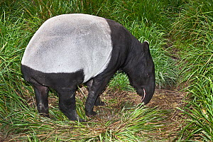 Female Malayan tapir (Tapirus indicus) grazing, from South East Asia, Endangered, Captive - Rod Williams
