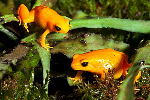 Golden Mantella frogs (Mantella aurantiaca) captive, from Madagascar, Critically Endangered - Rod Williams