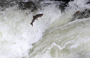 Salmon leaping up waterfall, swimming upstream to spawn, Alaska, USA, September  -  Shattil & Rozinski