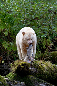 Kermode Spirit Bear (Ursus americanus kermodei) feeding on salmon in the Great Bear Rainforest, British Columbia, Canada. September - Shattil & Rozinski