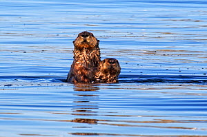 Sea otter (Enhydra lutris) mother and pup off the coast, British Columbia, Canada, Pacific Ocean, September  -  Shattil & Rozinski