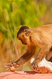 Black striped capuchin (Sapajus libidinosus) using rocks to crack nuts, Piaui, Brazil  -  Mary McDonald