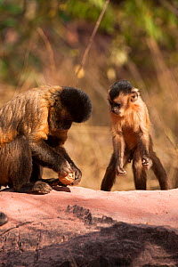 Black striped capuchin (Sapajus libidinosus) using rocks to crack nuts, with young animal watching and learning, Piaui, Brazil  -  Mary McDonald