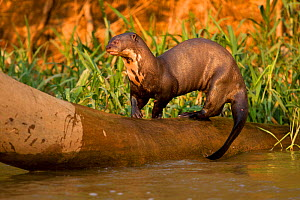 Giant River Otter (Pteronura brasiliensis) playing on falling log, in the Pantanal NP, Brazil, South America  -  Mary McDonald
