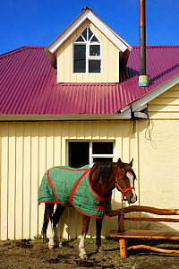 Domestic horse (Equus caballus) wearing a green quilted rug, in front of traditional wood house, El Chalten, Los Glaciares National Park, Patagonia, Argentina, January 2006  -  Oriol Alamany